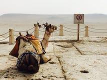 Camelo e pirâmide Fotografia de Stock
