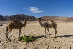 Camelo em Dahab fotografia de stock royalty free