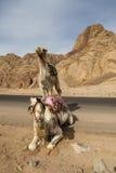 Camelo em Dahab imagem de stock royalty free