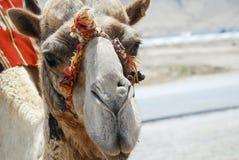 Camelo em Israel Imagens de Stock Royalty Free