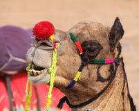 Camelo em Pushkar foto de stock