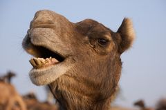 Camelo em Puskar justo, India Imagem de Stock