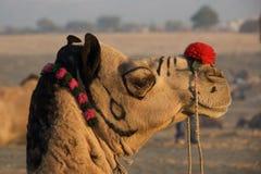 Camelo em Puskar justo, India Fotos de Stock