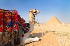 Camelo em pyramides de Giza, o Cairo, Egito. Fotografia de Stock