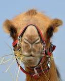 Camelo em Rússia Foto de Stock