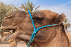 Camelo em Sahara Fotos de Stock