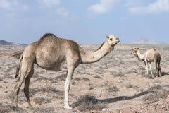 Camelo em um grupo de 3 que anda no deserto Imagens de Stock