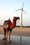 Camelo em um seashore, moinho de vento do backgroun. Imagens de Stock