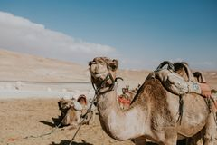Camelo em uma trela para turistas em Egito imagem de stock