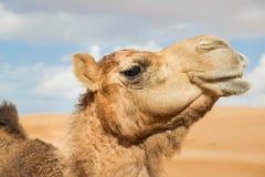 Camelo em Wahiba Omã Imagem de Stock