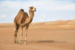 Camelo em Wahiba Omã Imagens de Stock