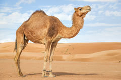 Camelo em Wahiba Omã Fotos de Stock Royalty Free