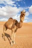 Camelo em Wahiba Omã Foto de Stock Royalty Free