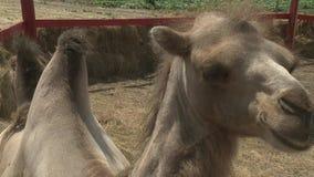 Camelo filmado no jardim zoológico vídeos de arquivo