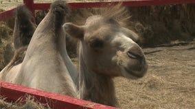 Camelo filmado no jardim zoológico video estoque