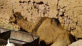 Camelo grande estabelecido filme