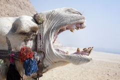 Camelo gritando Imagem de Stock Royalty Free