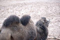 Camelo humped dobro imagens de stock