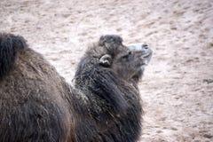Camelo humped dobro foto de stock royalty free