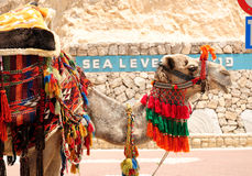 Camelo israelita Imagens de Stock