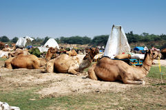 Camelo justo em Vautha, gujarat, India Fotografia de Stock