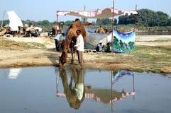 Camelo justo em Vautha, india Imagens de Stock Royalty Free