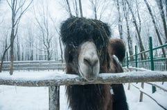 Camelo marrom masculino do focinho Fotografia de Stock