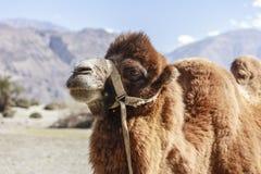 Camelo na Índia Foto de Stock Royalty Free