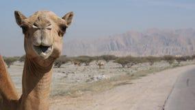 Camelo na borda da estrada fotografia de stock