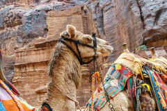 Camelo na garganta de PETRA, Jordânia Fotografia de Stock Royalty Free