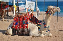 Camelo na praia Fotografia de Stock
