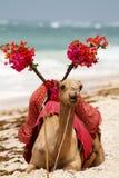 Camelo na praia imagem de stock