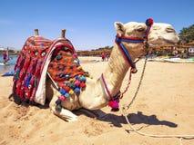 Camelo na praia Imagens de Stock Royalty Free