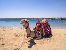 Camelo na praia Foto de Stock