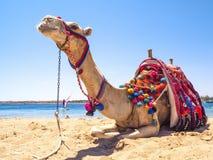 Camelo na praia Fotografia de Stock Royalty Free