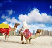 Camelo na praia de Dubai foto de stock