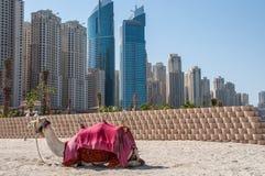 Camelo na praia do jumeirah Imagem de Stock