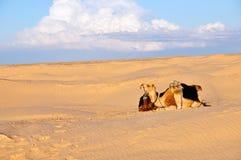 Camelo no deserto Imagens de Stock Royalty Free