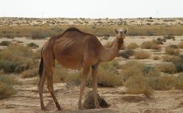 Camelo no deserto Fotos de Stock Royalty Free