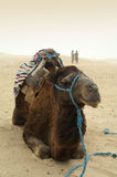 Camelo no deserto Fotos de Stock