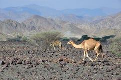 Camelo no deserto Imagem de Stock Royalty Free