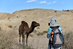 Camelo no deserto de Judea fotos de stock royalty free