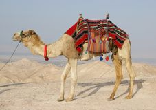 Camelo no deserto de Judean, Israel Imagem de Stock Royalty Free