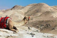 Camelo no deserto de Judean, Israel Imagens de Stock