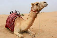 Camelo no deserto de sahara foto de stock royalty free