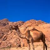 Camelo no deserto de sahara Imagem de Stock Royalty Free