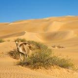 Camelo no deserto de Sahara Fotos de Stock