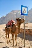 Camelo no deserto do rum do barranco, Jordão Imagem de Stock