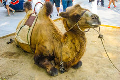 Camelo no parque chinês ocupado Fotografia de Stock