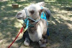 Camelo no parque na grama Imagens de Stock
